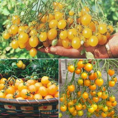 50pcs Seeds Cherry Tomato Golden Russian Heirloom Garden Vegetable Fruit Plant