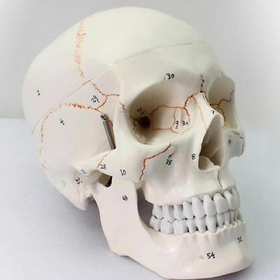 Medical Anatomical Human Skull Model, 3-part, Numbered, Life Size