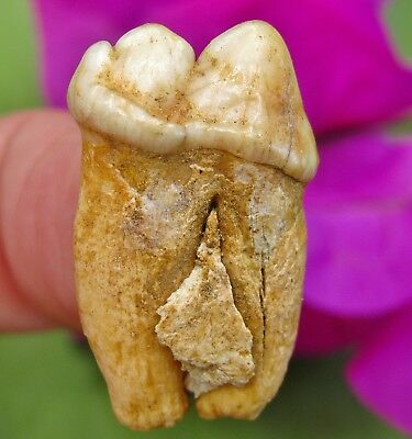 Outstanding EXTINCT Genuine Fossil CAVE BEAR TOOTH MOLAR Romania Teeth bone jaw