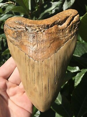 Massive 6.02 Inch Megalodon Tooth Weighs Over 1 Pound! Fossil Shark Teeth