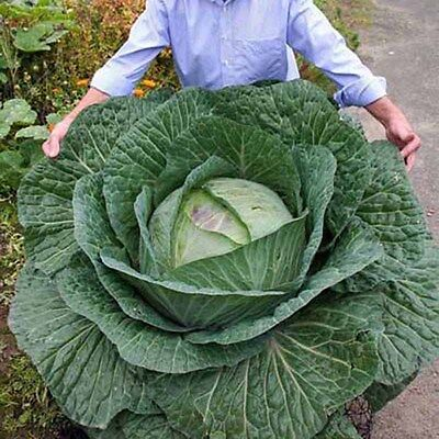 RARE! 400Pcs Giant Russian Cabbage Seeds Vegetable Seeds High Quality Veg, W5W3