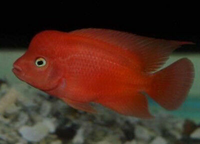 RED MONKEY CICHLID Live Tropical Aquarium Freshwater Fish Fry