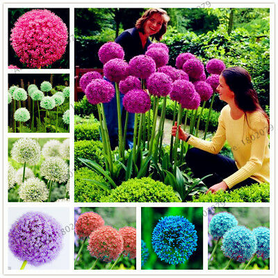 Giant Allium Seeds Giganteum purple Flower Home Garden Plant Decor 200 pcs
