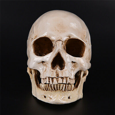 Human Skull Replica Resin Model Medical Realistic lifesize 1: 1 Nuovo  BERX
