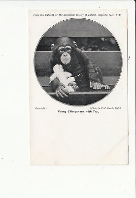 Young Chimpanzee with Toy London Zoo Vintage Postcard
