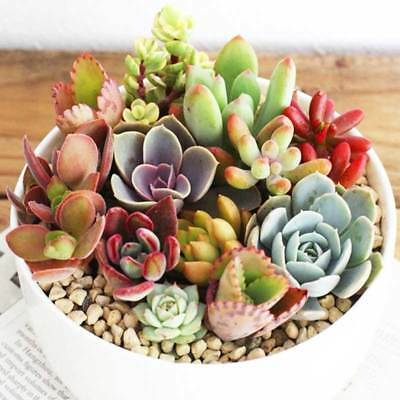 Rare Beauty Succulents Seeds Easy To Grow Potted Flower Seeds Bonsai Seeds