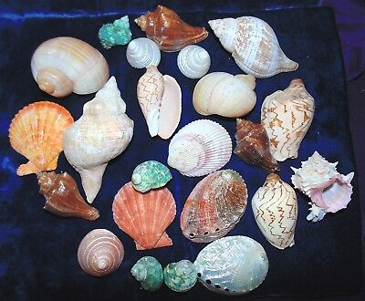 1-1/4 POUNDS of VERY LARGE POLISHED MIXED  SEA SHELLS  BEACH DECOR  CRAFT