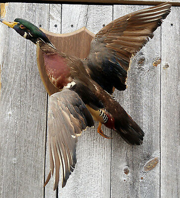 Excellent Vintage Wood Duck Drake Flying Taxidermy Wall Mount