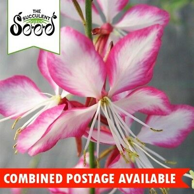 BEE BLOSSOM -  (35 Seeds) GAURA Year Round Bloomer DROUGHT TOLLERANT