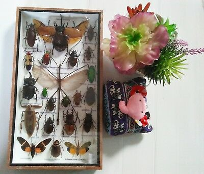 Real Rare Beetle Stick Bug Cicada Scorpion Insects Display Taxidermy Framed Box