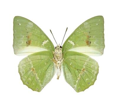 Lot Of 10 - Real Butterfly Green Charaxes Eupale Verso Africa Wings Closed