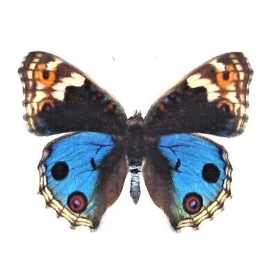 One Real Butterfly Blue Buckeye Junonia Orithya Japan Unmounted Wings Closed