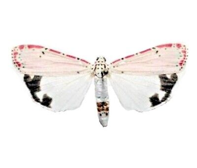 One Real Moth Pink Utethesia Ornatrix Unmounted Wings Closed