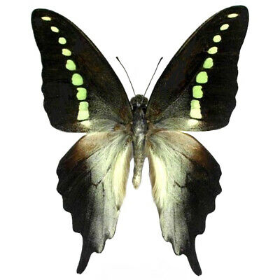 One Real Butterfly Green Jelly Bean Graphium Codrus Unmounted Wings Closed