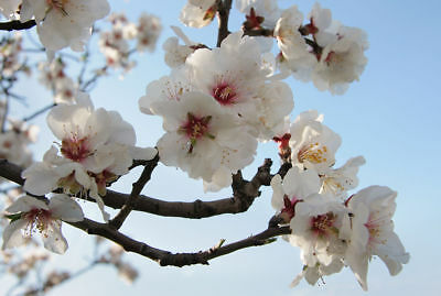 ALMOND TREE. PRUNUS AMYGDALUS ' AMARA' Gorgeous blossom  5 seeds