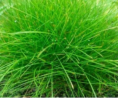 lot x 3 ELEOCHARIS ACICULARIS  version plante gazonnante bassin aquarium