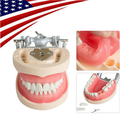 Dental Teaching Model Standard Typodont Demonstration With Removable Teeth 200H