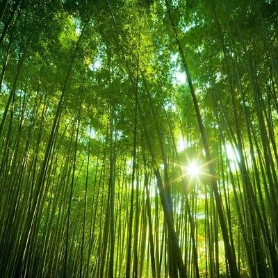 RARE Giant Moso Bamboo, Pubescens Phyllostachys edulis - 100 Viable Seeds