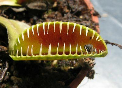 Dionaea muscipula Alien, Creepy Teeth Venus Flytrap (small Plant)