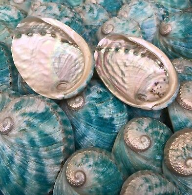 "15 X Abalone Shells ""Hybrid"" Blue/Green Shades"