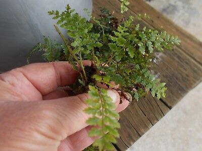 FERNS X 10...Tiny ferns for Terrariums. Mother shield ferns.