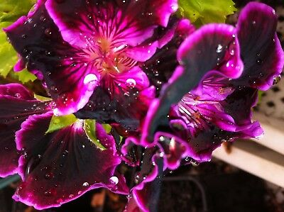Geranium Pel Black Prince Plant $7  Postage $8.00 Any 3 Plants Or 8 $15.50