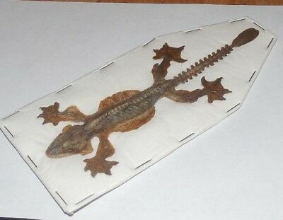 Ptychozoon Kuhlii Indonesian Kuhls Flying Gecko Real Lizard Taxidermy Fast Ship