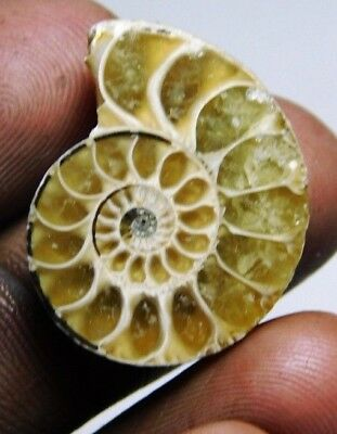 20 cts Natural  Ammonite fossil cabochon  loose gemstone fancy shape mr 158