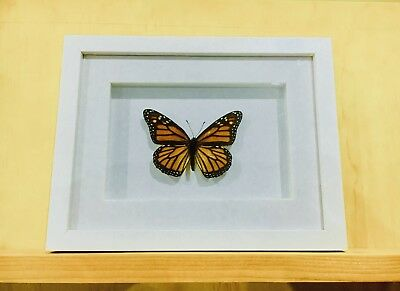 Framed Monarch Butterfly, insect taxidermy