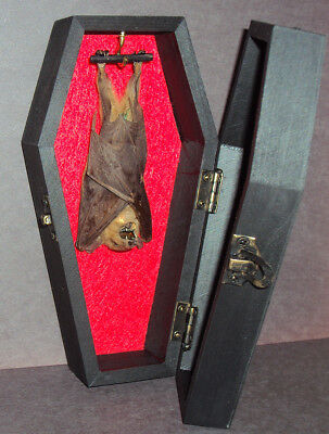 Real Hanging Bat in Black Wood Coffin! Gothic Taxidermy! Nice Quiet Pet!