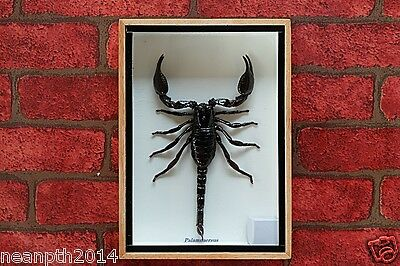 Real Giant Scorpion Taxidermy In Wood Box Frame Insect Home Decoration