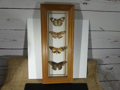 Framed real Butterflies specimens with Species Types listed - South America