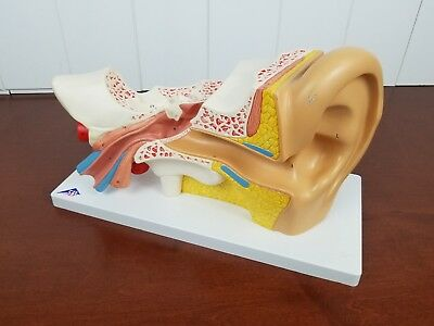 3B Human Ear Scientific Anatomical Model Anatomy (Missing parts)