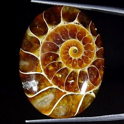 35.00Cts 100% Natural Designer Ammonite Fossil Oval Cabochon Loose Gemstone