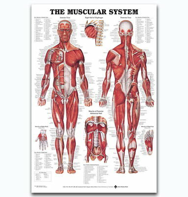 58352 Muscular System Ch Human Body Medical Science FRAMED CANVAS PRINT UK