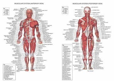 62017 Human Muscular System Anatomy Muscle Biceps Framed Canvas Print Uk