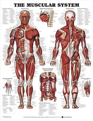 64761 The Muscular System Framed Canvas Print Uk