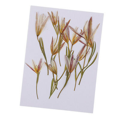 12pcs Pressed Natural Dried Flowers Lily for Jewelry Making Candle Making
