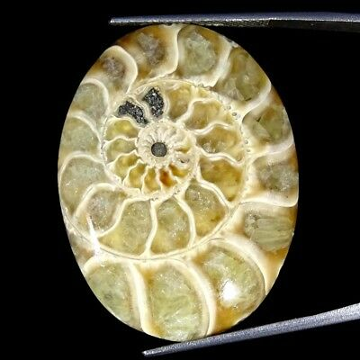 40.00Cts 100% Natural Designer Ammonite Fossil Oval Cabochon Loose Gemstone