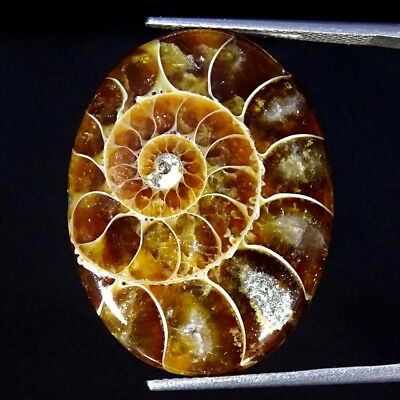 22.60Cts 100% Natural Designer Ammonite Fossil Oval Cabochon Loose Gemstone