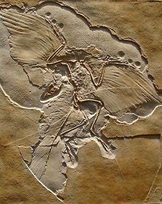 Archaeopteryx lithographica Fossil Replica