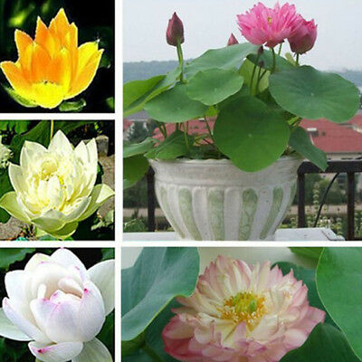 10Pcs Lotus Nymphaea Asian Water Lily Pad Flower Pond Seeds potted flowers KK