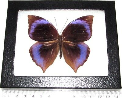 Real Framed Butterfly Blue Purple Zeuxidia Amathusiidae Philippines Z3