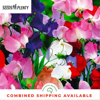 SWEET PEA  - Mammoth Mix (50 Seeds) CLIMBING & VINING FLOWER Heirloom BULK