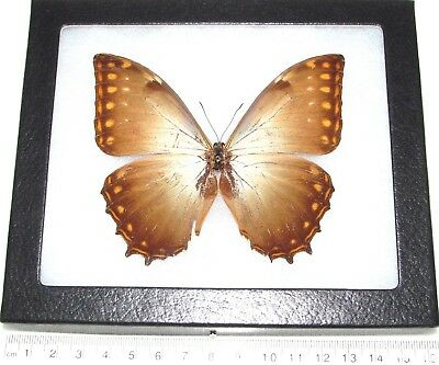 Real Framed Butterfly Morpho Theseus Ssp Panama T2