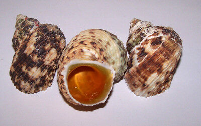 Gold Mouth Turbo Shells - Sea Shells, Aquarium Decor, Hermit Crabs, Displays etc