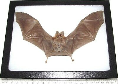 Real Preserved Bat Rhinolophus Affinis Wings Spread Taxidermy 8In X 6In Frame