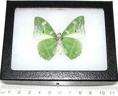 Real Framed Butterfly Green Charaxes Eupale Verso Africa