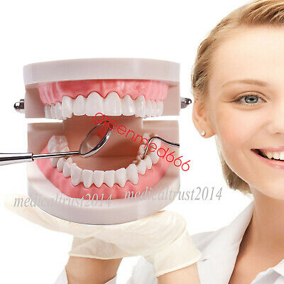 HOT SALE Teach Study Standard Typodont Demonstration fixed Teeth Model