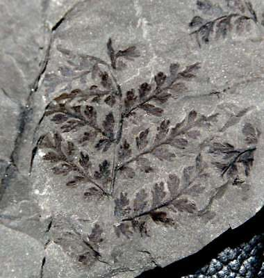Rare preserved on both sides of the rock Carboniferous fossil Sphenopteris plant